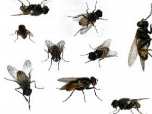 Dopo le cimici del Nord Est è invasione di mosche a Genova