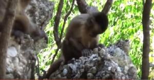 YOUTUBE Scimmie usano pietre come facevano gli uomini preistorici