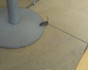 Topo nel bar del Parlamento britannico