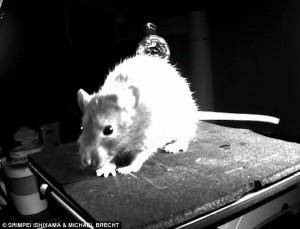 Anche i topi ridono basta stimolarli col solletico