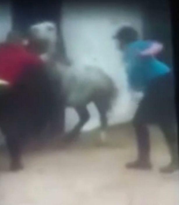 Calci e frustate al pony che non si ammaestrare VIDEO choc2