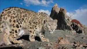 Due leopardi delle nevi litigano per una femmina