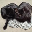 Gatto-vampiro, si chiama Sergio: i suoi canini sono lunghissimi