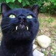 Gatto-vampiro, si chiama Sergio: i suoi canini sono lunghissimi10