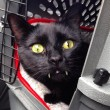 Gatto-vampiro, si chiama Sergio: i suoi canini sono lunghissimi6