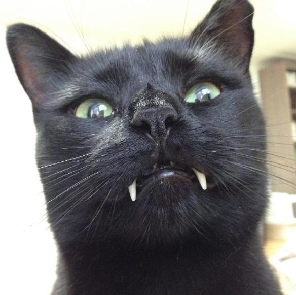 Gatto,vampiro, si chiama Sergio i suoi canini sono lunghissimi66