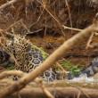 Giaguaro uccide caimano schiacciandogli il cranio