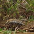 Giaguaro uccide caimano schiacciandogli il cranio8