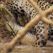 Giaguaro uccide caimano schiacciandogli il cranio5