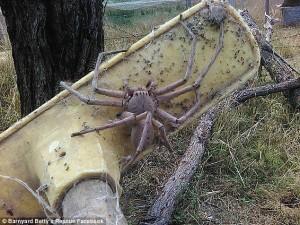 Gigantesco ragno cacciatore avvistato in una fattoria australiana FOTO