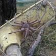 Gigantesco ragno cacciatore avvistato in una fattoria australiana2