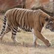 La nuova vita dell'ultima tigre dello zoo di Gaza