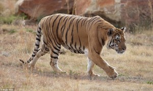 La nuova vita dell'ultima tigre dello zoo di Gaza4