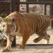 La nuova vita dell'ultima tigre dello zoo di Gaza3