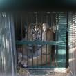 La nuova vita dell'ultima tigre dello zoo di Gaza2