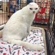 Otitis, gatto senza orecchie e sordo guarisce la sua padrona dall'ansia10