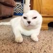 Otitis, gatto senza orecchie e sordo guarisce la sua padrona dall'ansia9