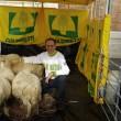 Pecore pascolano al Foro Traiano: pastori protestano
