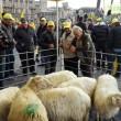 Pecore pascolano al Foro Traiano: pastori protestano9