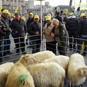 Pecore pascolano al Foro Traiano: pastori protestano10