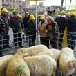 Pecore pascolano al Foro Traiano: pastori protestano7
