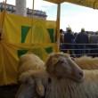 Pecore pascolano al Foro Traiano: pastori protestano6