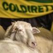 Pecore pascolano al Foro Traiano: pastori protestano5