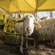 Pecore pascolano al Foro Traiano: pastori protestano4