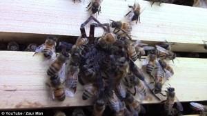 Ragno attacca alveare api lo uccidono e poi muoiono