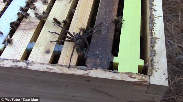 Ragno attacca alveare: api lo uccidono e poi muoiono1