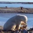 YOUTUBE Orso polare accarezza un cane: la scena che commuove 2