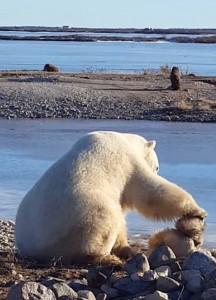 YOUTUBE Orso polare accarezza un cane: la scena che commuove