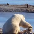 YOUTUBE Orso polare accarezza un cane: la scena che commuove 3