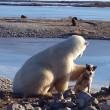 YOUTUBE Orso polare accarezza un cane: la scena che commuove 4