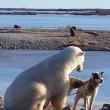 YOUTUBE Orso polare accarezza un cane: la scena che commuove 5
