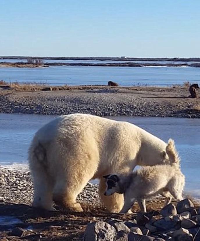 YOUTUBE Orso polare accarezza un cane: la scena che commuove 6
