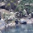 Scimpanzè usano rete da pesca per mangiare alghe3