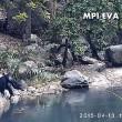 Scimpanzè usano rete da pesca per mangiare alghe2