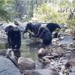 Scimpanzè usano rete da pesca per mangiare alghe