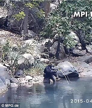 Scimpanzè usano rete da pesca per mangiare alghe4