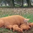 Scrofa lancia in aria uno dei maialini mentre allatta2