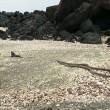 Serpenti attaccano iguana marina: il VIDEO è spettacolare3