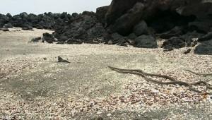 Serpenti attaccano iguana marina: il VIDEO è spettacolare5