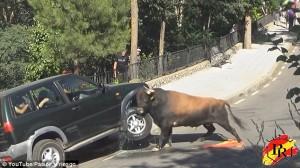 Spagna, toro quasi ribalda jeep a suon di cornate 55