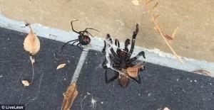 Vedova nera sfida ragno dei cuniculi: lotta tra i due più velenosi