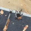 Vedova nera sfida ragno dei cuniculi: lotta tra i due più velenosi2