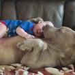 YOUTUBE-FOTO Bulldog americano accudisce e lecca neonato