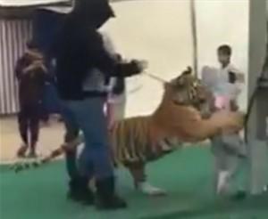 YOUTUBE Tigre assale bimba allo zoo in Arabia Saudita: le grida di paura