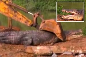 YOUTUBE Coccodrillo di 5 metri si incastra nel fiume: salvato con una gru