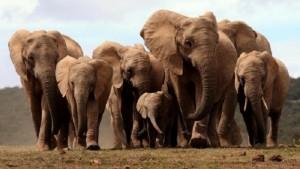 Elefanti nascono senza zanne: la specie muta per sopravvivere